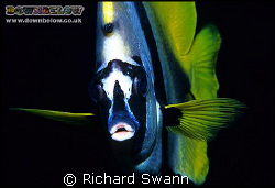 Give Us A Kiss ! Banner Fish, Nikon F90x 60mm, one Harten... by Richard Swann